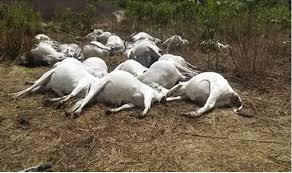 Confusion as 40 cattle die after eating poisonous grass in Taraba