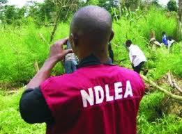 NDLEA Seizes 1,721kg Of Cannabis Sativa, Arrests 89 Suspects In Kaduna